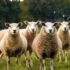 four lambs on ground